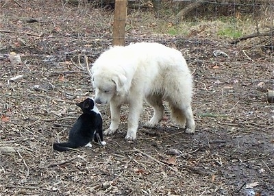 A Great Pyrenees is standing in dirt and sniffing the body of a black with white cat that is sitting in front of it