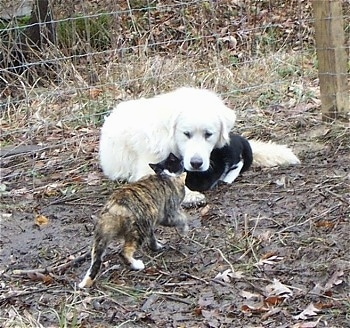 A Great Pyrenees is laying in front of a wire fence and under its neck is a black and white cat and another calico cat is walking towards them