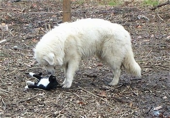 A Great Pyrenees is standing in dirt and looking down at a black with white cat who is belly up looking at the dog.