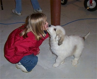 A Great Pyrenees puppy is licking the chin of a blonde haired girl in a red coat on a cement floor of a basement.