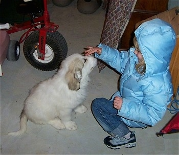 A smiling blonde haired girl in a light blue winter blue coat is kneeling in front of a Great Pyrenees puppy with fingers on the nose of the dog.