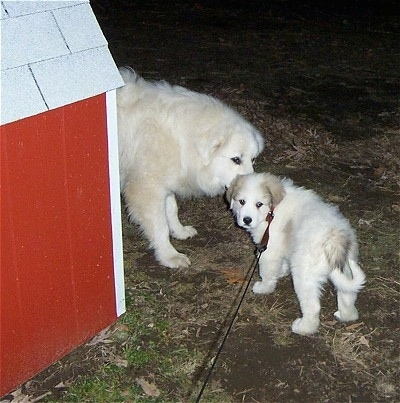 A Great Pyrenees is standing in front of a red doghouse and sniffing a Great Pyrenees puppy. It looks like it is whispering a secret