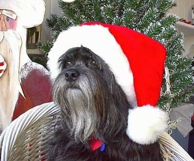 Close up head and upper body shot - A silver-gray Tibetan Terrier is sitting on a wicker chair, it is wearing a Santas Hat and it is looking to the left. There is a Santa Claus Cut-Out and a Christmas Tree Behind it. The dog has a long bearded gray chin.