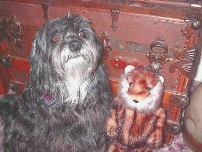 The front right side of a silver-gray Tibetan Terrier dog sitting in front of a chest, it is looking up and forward. There is a tiger toy to the right of it. The dog has a long coat with round brown eyes and a big black nose.