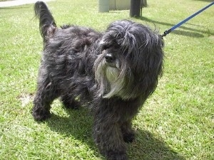The front right side of a silver-gray Tibetan Terrier that is standing across a grass surface, it has a blue leash attached to it and it is looking to the left. The dog's hair is long.