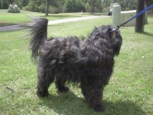The front right side of a wavy coated, silver-gray Tibetan Terrier dog standing across a grass surface, its head is turned towards its backside and it has a blue leash attached to it.