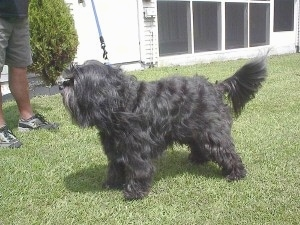 The front left side of a wavy long-haired, silver-gray Tibetan Terrier dog standing across a grass surface looking to the left, there is a person standing in front of it and it has a blue leash attached to it.