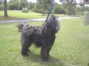 The front right side of a long, wavy-coated, silver-gray Tibetan Terrier dog standing across a grass looking up.