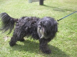 The front right side of a thick long coated, silver-gray Tibetan Terrier dog standing across a grass surface and it is looking to the left.