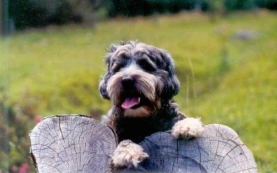 A short coated. gray with tan Tibetan Terrier is laying on a log, it is looking forward, its mouth is open, its tongue is out. The dogs hair is shaved.