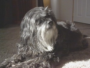 A silver-gray Tibetan Terrier dog laying across a tan carpeted surface looking to the right. The dogs long coat is covering up its eyes. It has a light gray bearded chin.
