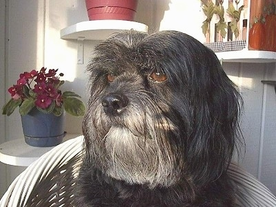 Close up head shot - A long-haired, silver-gray Tibetan Terrier dog sitting on a white wicker chair looking to the left. The dog has brown eyes and a big black nose.