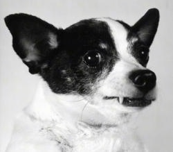 Close up head shot - A black and white photo of a white with black and tan Toy Fox Terrier that is looking to the right. Its ears are set wide apart, it has a round forehead, wide round eyes, small perk ears and its top canine tooth is showing.
