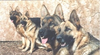 Two German Shepards are sitting in front of a stone wall outside. Overlayed on the left is a cut out zoomed in version of the two German Shepherds heads.