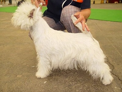 The left side of a West Highland White Terrier that is posing in a show dog stack on a concrete surface.