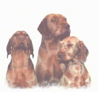 Front view upper body shot of three red Wirehaired Vizslas
