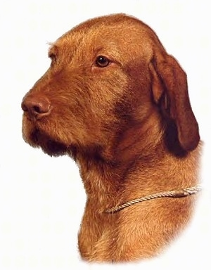 The front right side of a red Wirehaired Vizsla's head with a rope collar around its neck.