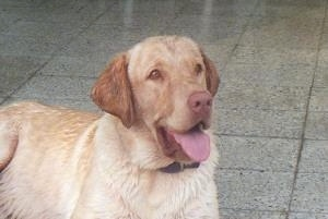 A yellow Labrador Retriever is laying on a gray tiled floor and it is looking to the left. Its mouth is open and tongue is out.