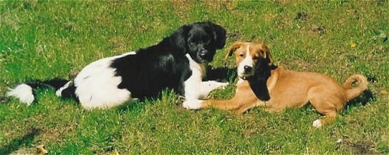 A black with white Stabyhoun dog and a brown with white Austrian Pinscher dog are laying face to face in grass