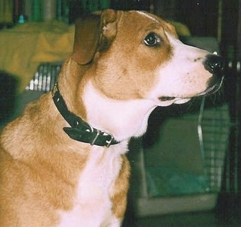 Close Up - The right side of a brown with white Austrian Shorthaired Pinscher that is standing across a room. It is looking towards the right and there is a crate behind it.