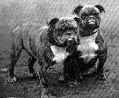 A picture of two brindle Bulldogs one is sitting and the other is standing