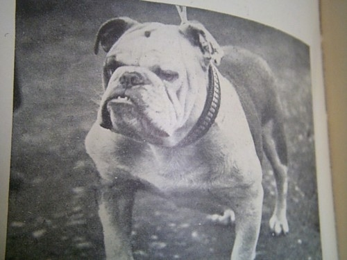 A picture of a picture of a Bulldog from the 1900s