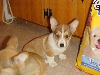 A small, short-legged, tan with white Pembroke Welsh Corgi is sitting on a tiled floor in front of a bag of puppy food.