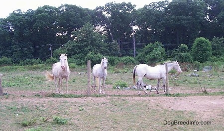 Two white Horses are standing in front of a wire fence and walking along the fence is another white Horse.
