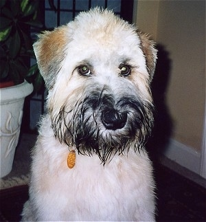 Close up - A tan with brown and black Soft Coated Wheaten Terrier is sitting on a rug and it is looking forward. It has black hair around its mouth and a black nose.