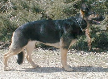 Right Profile - A black and tan German Shepherd is standing on a path in front of large bushes