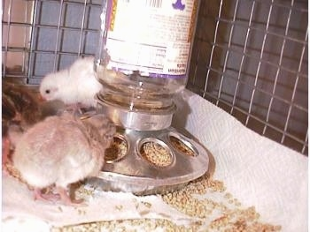 A light blue keeet eating feed from a food dispencer with a white baby keet behind it.