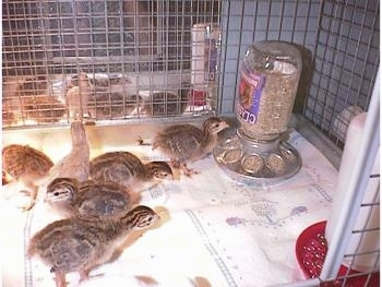 One keet is looking at its reflection in a mirror, which is placed behind the cage. One keet is standing in front of the feed dispenser. A couple are walking to the right of the cage and others to the left