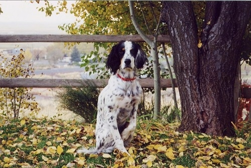 A black and white with tan Llewellin Setter is sitting in grass that is covered in fallen yellow leaves next to a large tree and in front of a wooden split rail fence.