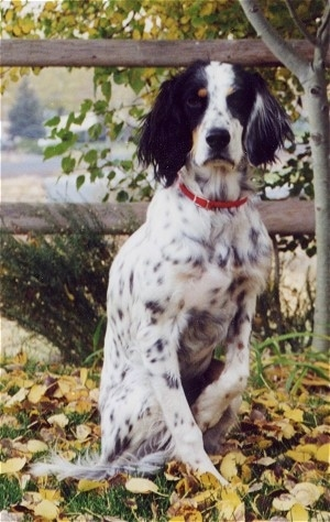 A black and white with tan Llewellin Setter is sitting in grass that is covered in leaves in front of a wooden split rail fence.