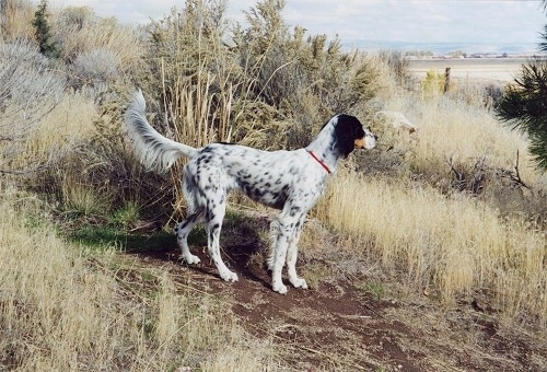 Llewellin Setter Dog Breed Information And Pictures