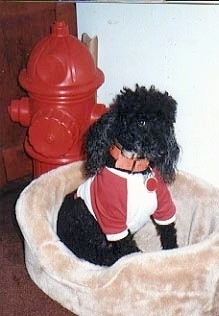 A black Miniature Poodle is wearing a red and white shirt while sitting in a tan dog bed inside of a house. There is a large red plastic fire hydrant behind the dog.