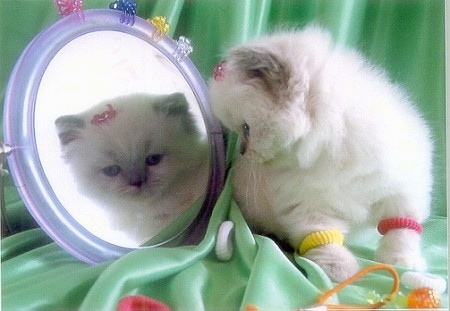 Vanity the fluffy white kitten is sitting on a green backdrop and looking in a mirror with hair clips and hair bands all over her and the mirror