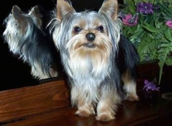 The front left side of a black with brown Yorkshire Terrier dog standing on a wooden ledge. To the left of it is a mirror and behind it is a fake plant. The dog has a black nose, dark eyes and perk ears with long hair hanging from the sides of its face.