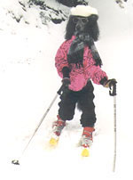 A Black Poodle is standing on its hind legs wearing a ski suit. It is also in skis. It is wearing sunglasses and a hat as well.