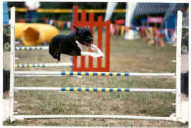 A Staffordshire Bull Terrier is jumping over an agility bar on an obstacle course