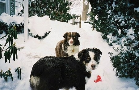 Two Australian Shepherds standing in the snow in front of a house