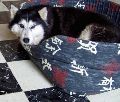 The left side of a black with white Alaskan Malamute that is laying down in a dog bed