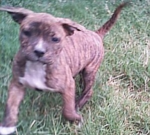 The left side of a brindle with white American Bulldog running on a lawn.