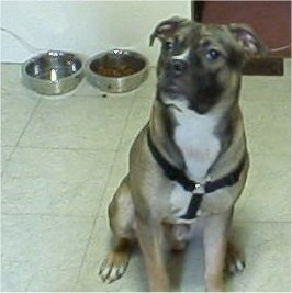 A large breed, grey with black and white Boxer/Pit Bull mix is wearing a black harness, sitting on a white tiled floor with a food and water dish behind it looking up and to the left.