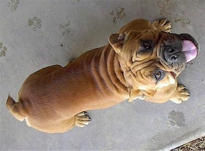 English Bulldog standing outside with its mouth open and looking up at the camera holder, view straight down from the top