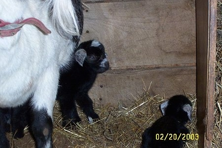 An adult goat with her two babies - A black with white kid goat is standing under its black and white mother. There is another baby laying down   looking to the right.