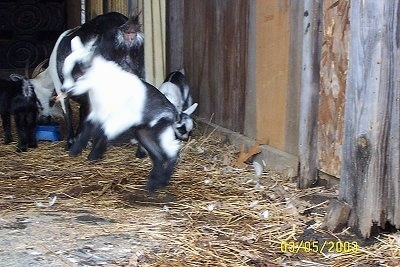 A black and white kid goat is jumping in the air. It mother and sibling are behind it.