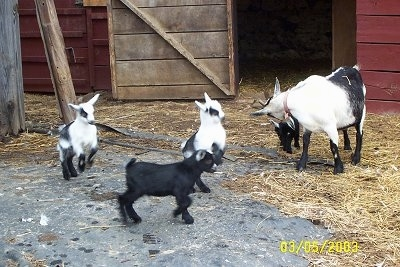 For baby goats and their adult mother in front of an open barn stall door - Three kid goats are standing on a stone surface and they are jumping around. Behind them is the black and white mother licking the head of a black with white Kid Goat next to it.