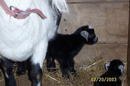 A black with white Kid Goat is standing under a black and white Goat. The kid goat is looking to the right.