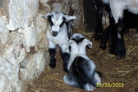 A black and white kid goat is laying in dirt and there is another kid goat standing against a stone wall looking down at its sibling that is laying down.